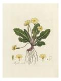 Primula acaulis Premium Giclee Print by William Curtis