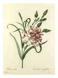 Oeillet panaché: Dianthus cariophyllus Giclee Print by  Chapuy