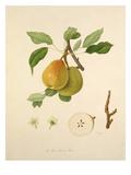 The White Buerrée Pear Reproduction procédé giclée par William Hooker