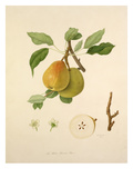 The White Buerrée Pear Giclee Print by William Hooker