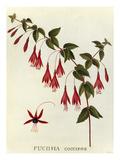Fuchsia coccinea Giclee Print by James Bolton