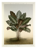 Maranta Veitchii Giclee Print by Fran&#231;ois Fr&#233;d&#233;ric Grobon