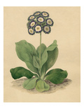 Primula auricula Cockups Eclipse Giclee Print by Sydenham Teast Edwards