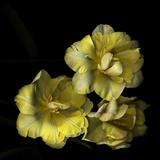 Tulips Cheery Trilogy Reproduction photographique par Magda Indigo