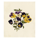 Viola tricolor Giclee Print by Caroline Maria Applebee