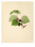 The Black Mulberry Giclee Print by William Hooker
