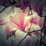 Magnolia Forever Photographic Print by Philippe Sainte-Laudy