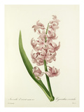 Jacinthe dorient varieté rose: Hyacinthus orientalis Premium Giclee Print by Joseph Marie Bessin