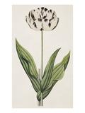 The Rodney, A Bybloemen Tulip Giclée-tryk af James Sowerby