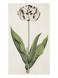 The Rodney, A Bybloemen Tulip Giclee Print by James Sowerby