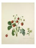 Knights scarlet fleshed Strawberry Giclée-Druck von Augusta Innes Withers