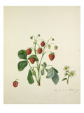 Knights scarlet fleshed Strawberry Giclee Print by Augusta Innes Withers