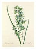 Ixia à fleurs vertes: Ixia viridiflora Impression giclée par Joseph Marie Bessin