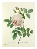 Rosa Indica: Grande Indienne Premium Giclee Print by Joseph Marie Bessin