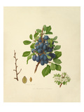 The Shropshire Damson Giclee Print by William Hooker