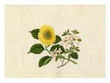 Weigela floribunda, Chrysanthemum indicum Giclee Print by  Wang Lui Chi