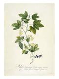 Ribes Americana fructu nigro minimo, Calyce floris campani formi Giclee Print by Georg Dionysius Ehret