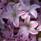 Pink Hyacynth Petals Photographic Print by Magda Indigo