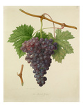 The Poonah Grape Giclee Print by William Hooker