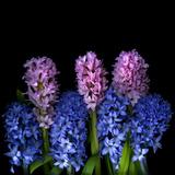 Hyacinths Photographic Print by Magda Indigo