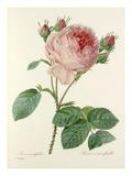 Rosa centifolia: Rosier à cent feuilles Giclée-Druck