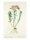 Alstroemeria pelegrina Giclee Print by Pierre-Joseph Redout&#233;