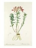 Alstroemeria pelegrina Premium Giclee Print by Pierre-Joseph Redouté