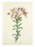Alstroemeria Pelegrina Giclee Print by  Langlois