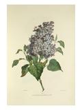 Lilac Giclee Print by Charles Joseph Hullmandel