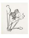 Iris unguicularis (Iris stylosa) Giclee Print by Graham Stuart Thomas