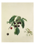 Cherry, black Giclee Print by Augusta Innes Withers