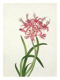 Nerine sarniensis Giclee Print by Elizabeth Smith