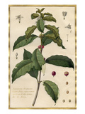 Jasminum Arabicum Giclee Print by Claude Aubriet