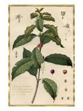 Jasminum Arabicum Premium Giclee Print by Claude Aubriet