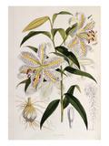 Lilium auratum Giclee Print by Walter Hood Fitch