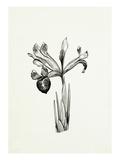 Iris histrioides Major Giclee Print by Graham Stuart Thomas