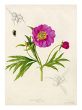 Paeonia veitchii Giclee Print by Lilian Snelling