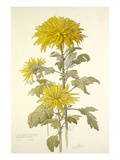 Chrysanthemum December Gold Giclee Print by Laurence Stanley Perugini
