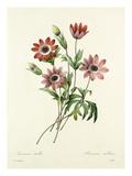 Anémone étoilée, Anemone stellata Giclee Print