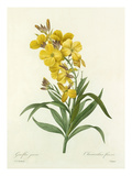 Giroflée jaune: Cheiranthus flavus Giclee Print by  Chapuy