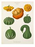 Tab XV Giclee Print by Ernst Benary