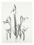Galanthus varieties Giclee Print by Graham Stuart Thomas