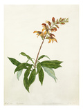 Digitalis, Didynamia angiospermia Giclee Print by Elizabeth Smith
