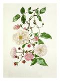 Rosa Adélaide dOrléans, Rosa Félicité Perpétue, Rosa Spectabilis Giclee Print by Graham Stuart Thomas