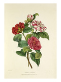 Camellia japonica Premium Giclee Print by Charles Joseph Hullmandel