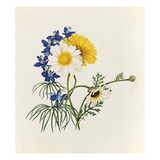 Delphinium grandiflorum, Argyranthemum frutescens Giclee Print by Caroline Maria Applebee