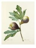 Figue violette: Ficus violacea Reproduction procédé giclée par Joseph Marie Bessin