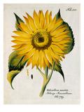 Helianthus annuus Premium Giclee Print by Ferdinand Bernhard Vietz