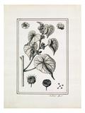 Abutelon dod Pemp Giclee Print by Claude Aubriet