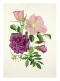 Rosa Fru Dagmar Hastrup, Rosa Roseraie de lHay Giclee Print by Graham Stuart Thomas